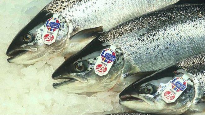 Экспорт шотландского лосося снизился на 20%