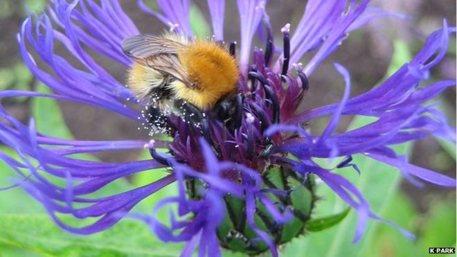 Bumblebee feeding on a cornflower