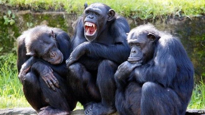 File picture of chimpanzees at a zoo in Sydney
