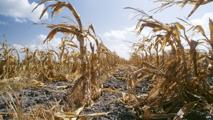 http://ichef.bbci.co.uk/news/736/cpsprodpb/183F5/production/_84871399_e1470103-drought-damaged_crops-spl-1.jpg