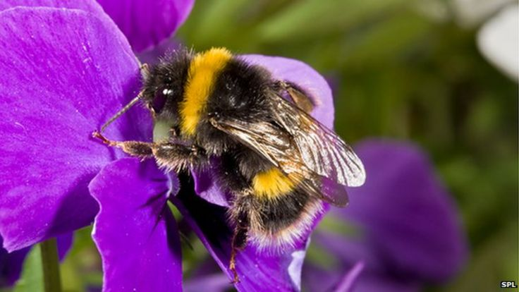 http://ichef.bbci.co.uk/news/736/media/images/83670000/jpg/_83670462_c0223558-buff-tailed_bumblebee_on_a_pansy-spl.jpg