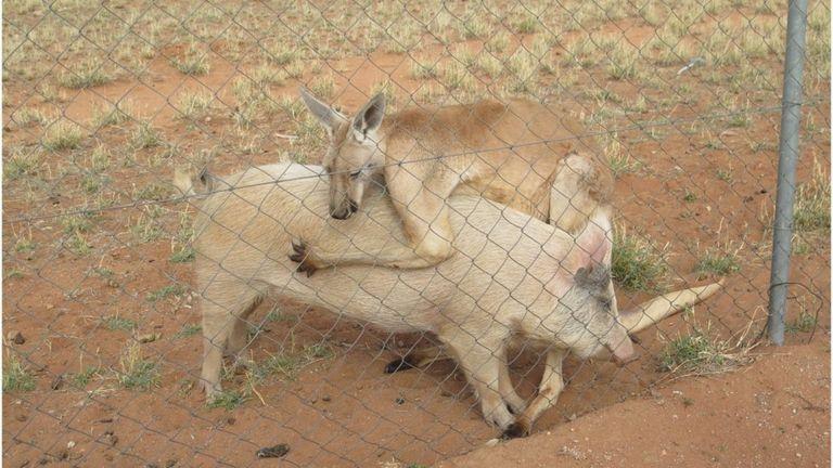 Abrazo de un canguro y una cerda