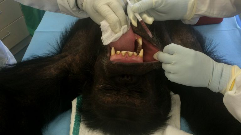 Chimp vaccination
