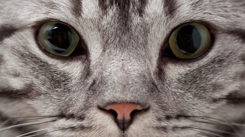 This is a photo of a grey cat.
