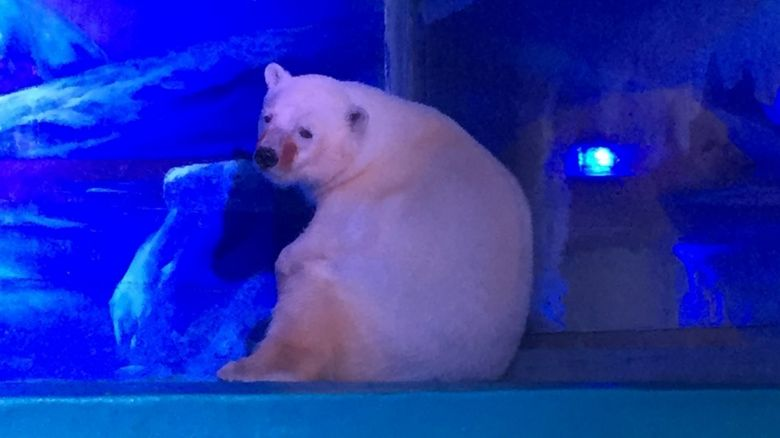 Pizza the polar bear