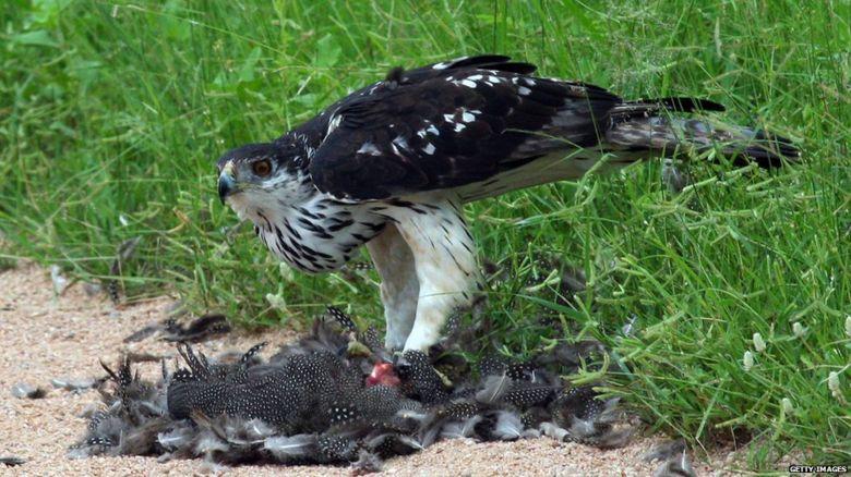 An eagle guarding its prey
