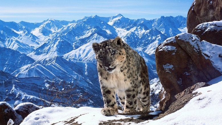 One of the 3500 snow leopards left in the wild