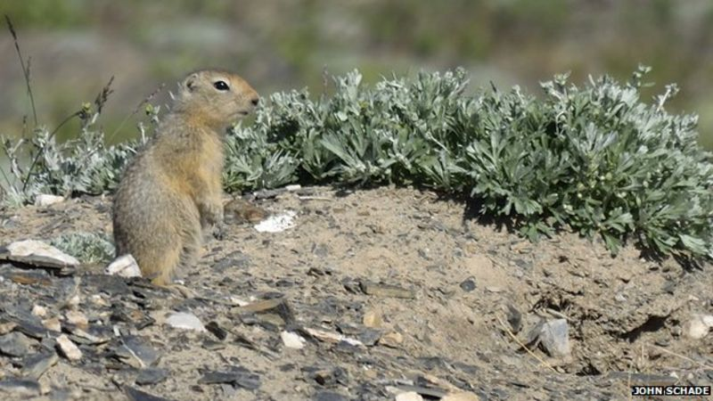 animals squirrels -  Arctic ground squirrels unlock permafrost carbon