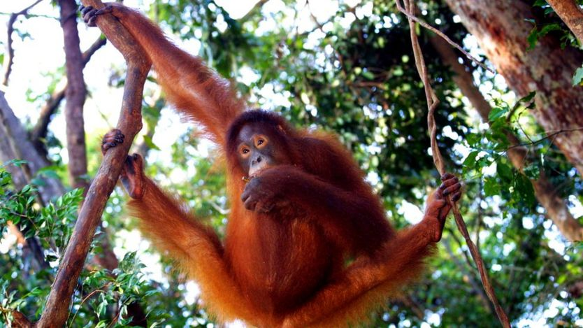 Orangutans can walk on branches with their feet
