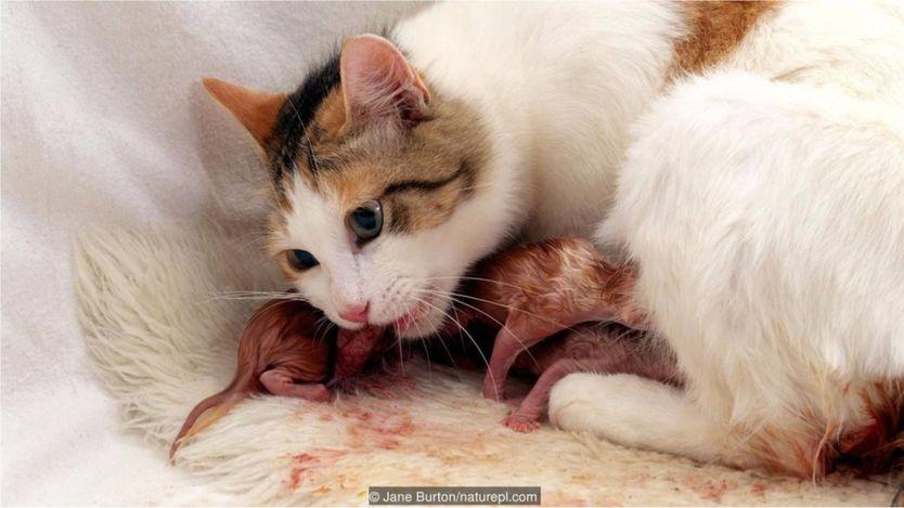 Một con mèo nhà đang ăn nhau thai sau khi sinh con