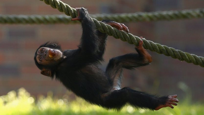 Chimpanzees' feet are built for grasping, not walking