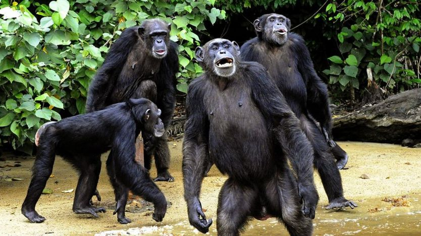 The feeding of chimpanzees from Monkey Island, a celebrated colony of former research lab captives on an atoll deep in the jungle of southern Liberia