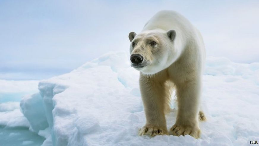 http://ichef.bbci.co.uk/news/872/cpsprodpb/9FA7/production/_84317804_c0207061-close_up_of_a_standing_polar_bear-spl.jpg