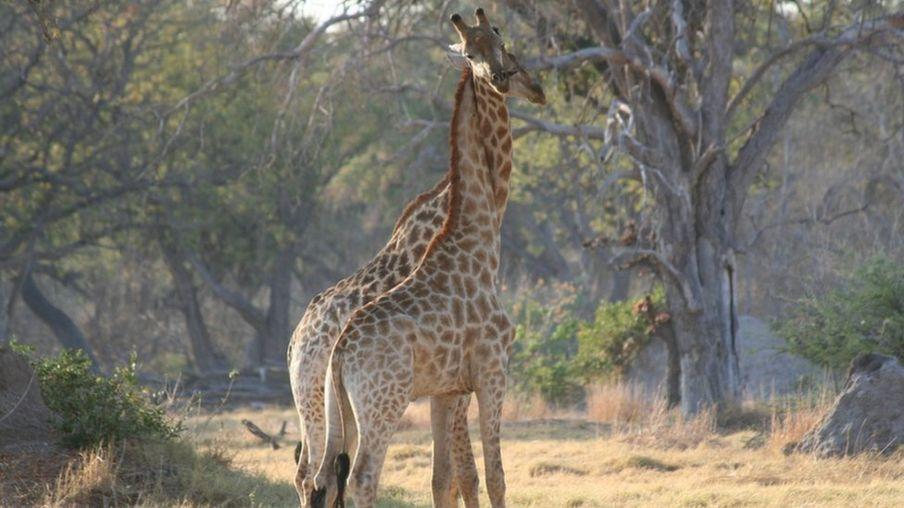 """Giraffer kan stå inför """"tyst utrotning"""""""
