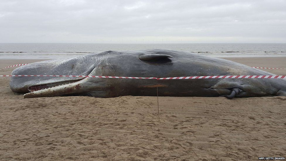 What Happens To Dead Whales In The UK After Theyre Beached