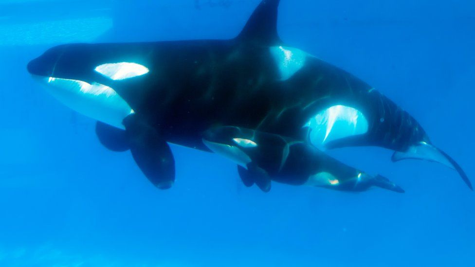 SeaWorld Euthanizes The Ailing Matriarch Of Its Killer Whale Population