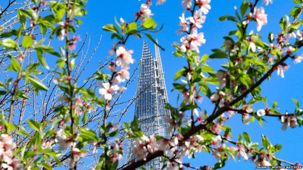 London Shard in blue skies, framed behind a pink blossom tree