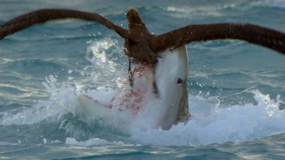 Black-footed albatross tries to escape from the jaws of a huge Tiger shark