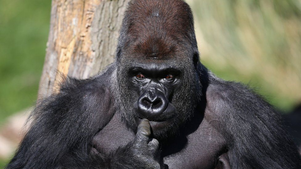 Kumbuka, a western lowland gorilla, looking the picture of innocence after arriving at London Zoo in 2013
