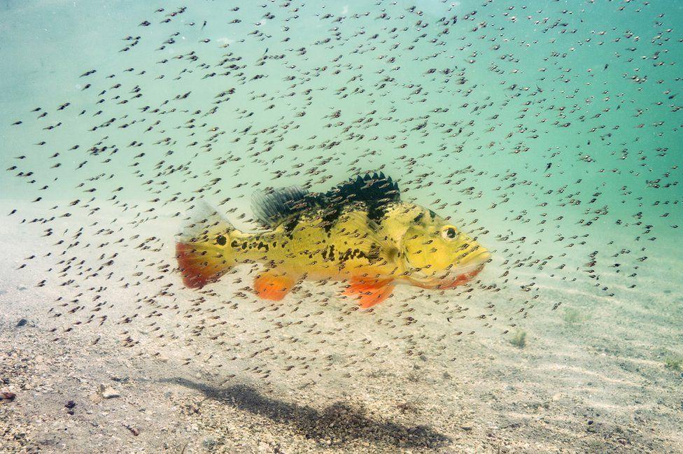 Pavón o róbalo pavoreal rodeado de peces