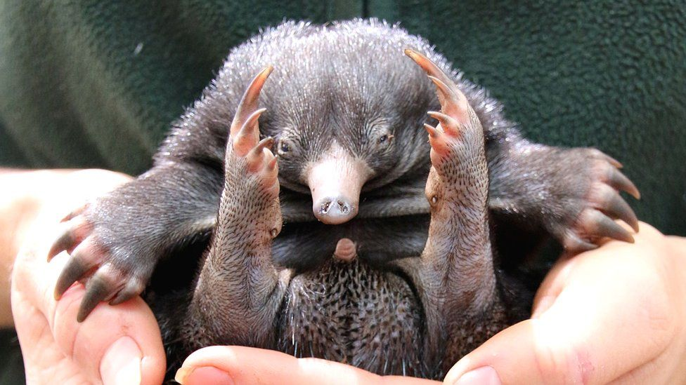 Baby echidna or puggle