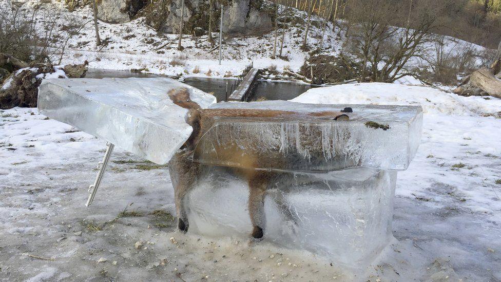 Fox frozen in ice
