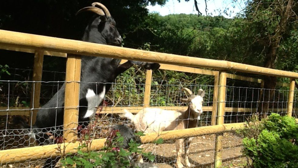 Ebony and Jack in their enclosure. They have learned to open the gate.