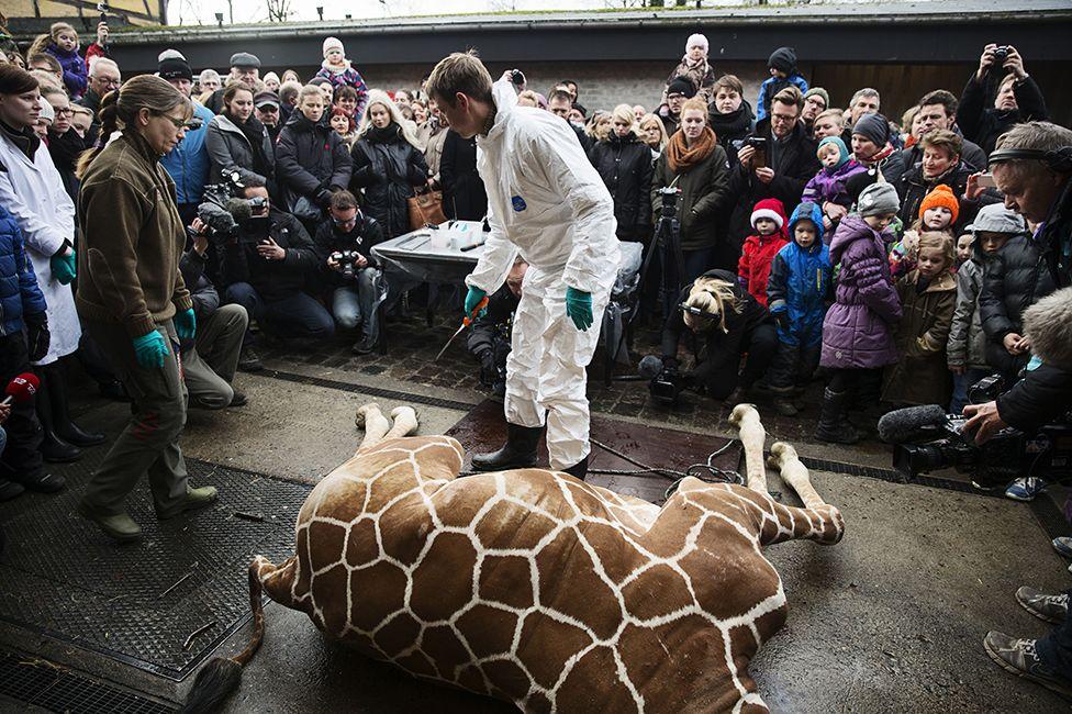 marius, giraffe, zoo, copenhagen