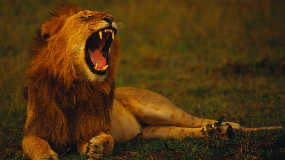 Kano's a lion man