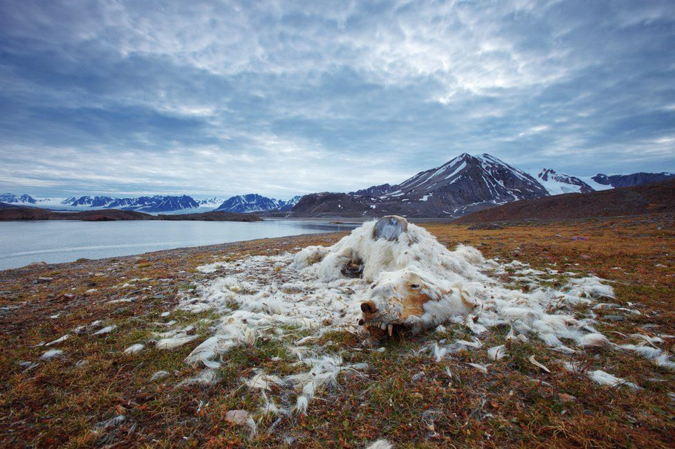 The remains of a polar bear lie next to the shore of a lake