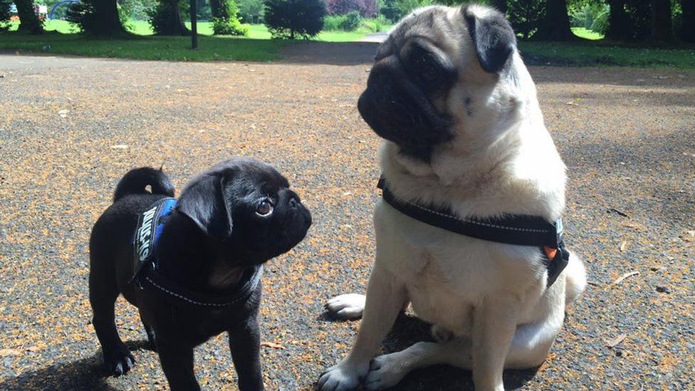 Picture of two pugs