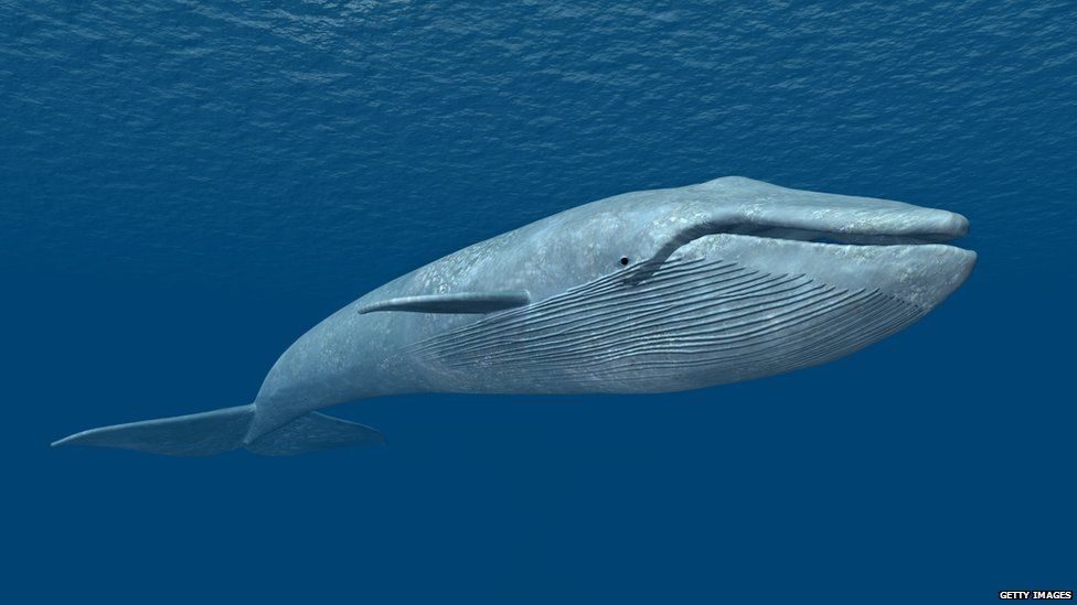 Image result for blue whale
