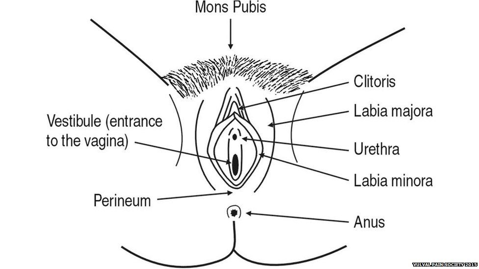 Anatomical drawing of a vulva