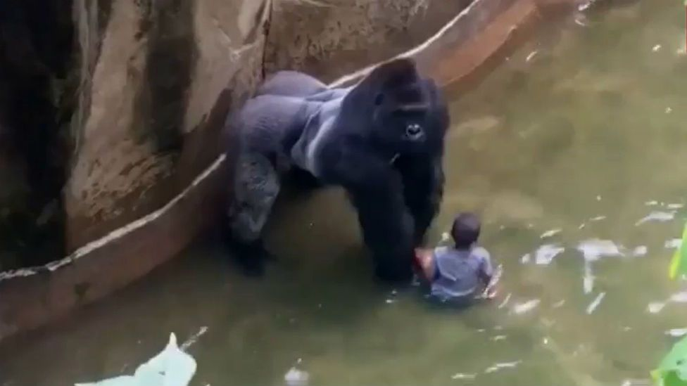 expert shooting harambe the gorilla was only decision at cincinnati