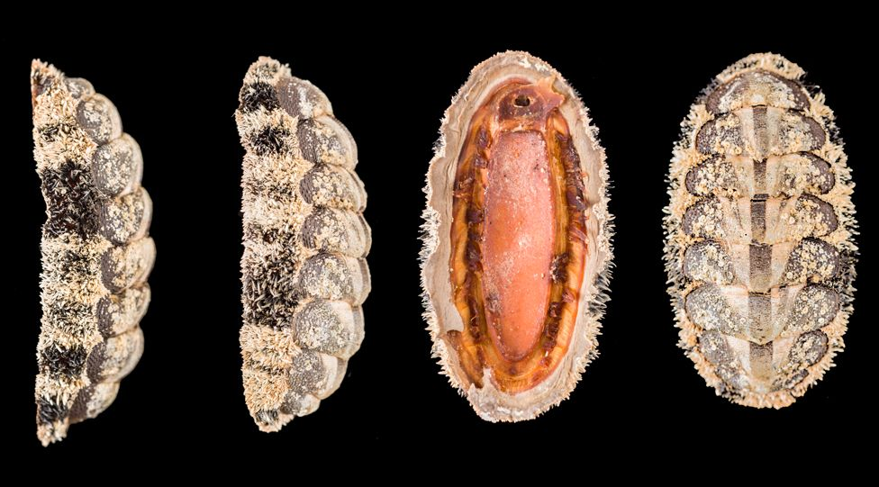 Chiton, Acanthopleura granulata © Trustees of NHM, London