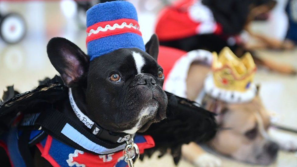 French bulldogs are overtaking Labs as the most popular in the UK
