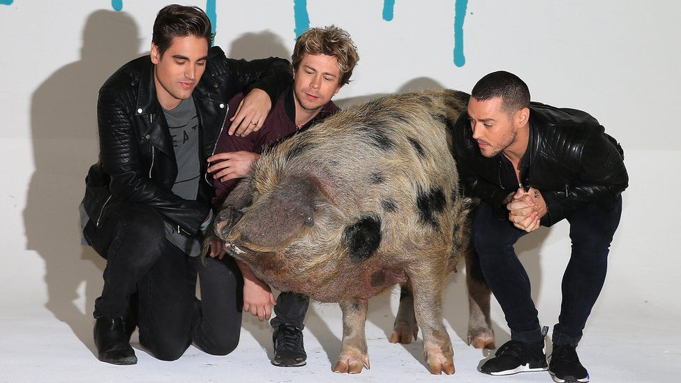 Busted looking at a pig
