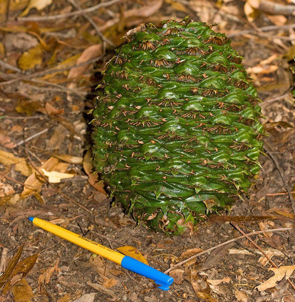 Bunya Pine cone