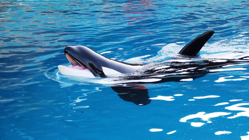 French water park Marineland criticised after killer whale ...