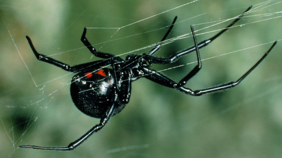 http://ichef.bbci.co.uk/news/976/cpsprodpb/5D82/production/_91883932_z4300333-black_widow_spider-spl.jpg