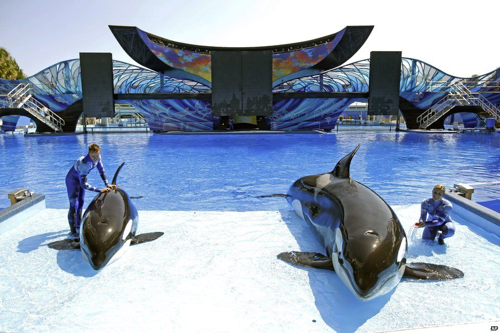 SeaWorld trainer Ryan Faulkner, left, with killer whale Malia, and Michelle Shoemaker, right, with Kayla in Orlando