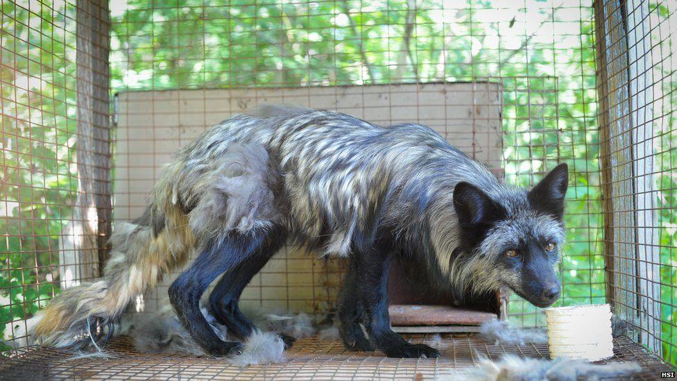 f5d01f37dd7 A fox with matted fur being held in a cage at a fur farm