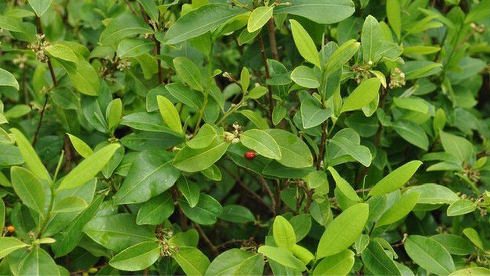 Tea Bush Plant