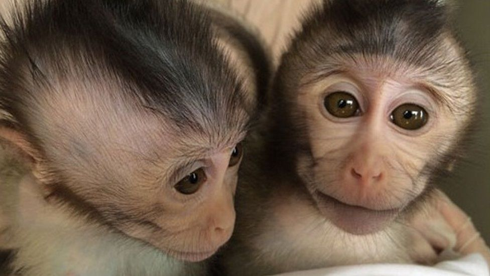 Two monkeys who were born with autism