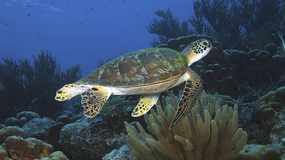 Turtle swimming over a coral reef