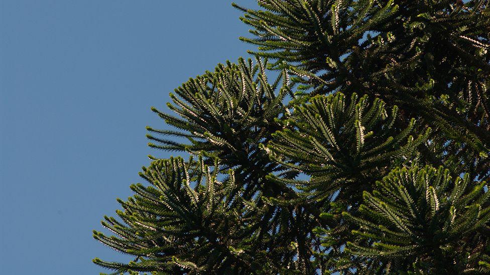 Bunya Pine tree