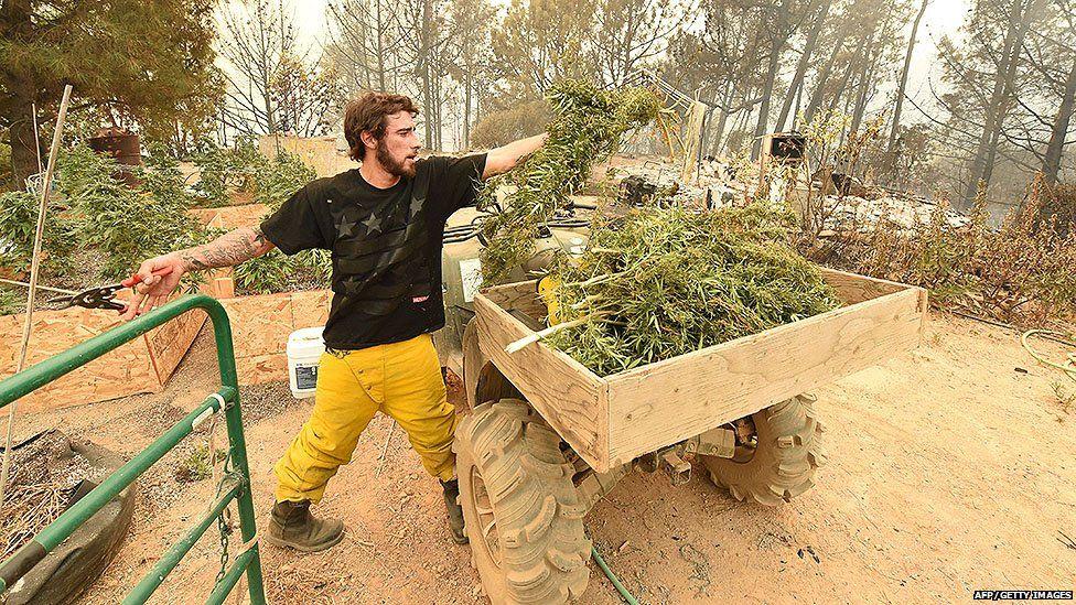 A marijuana crop in California