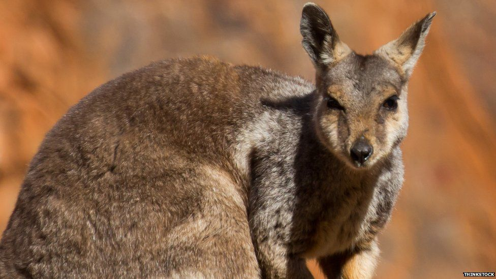 A wallaby