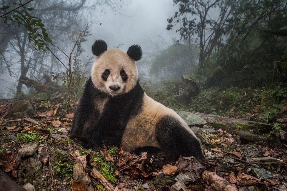 Gấu mèo Ye Ye, 16 tuổi, tại trung tâm bảo tồn Wolong Nature Reserve, Trung Quốc.