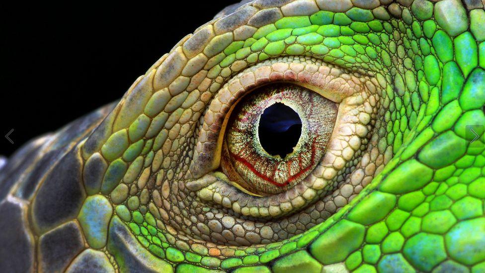 Close-up of an Iguana's eye by Muhammad Roem